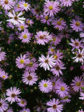 "Aster ""Little Carlow"" Perennial Close-up of Daisy Like Mauve Flowerheads Photographie par Mark Bolton"