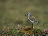 Portrait of a Dunlin, Calidris Alpina Photographic Print by Norbert Rosing