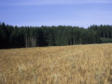 A Feild of Barley Lies Next to a Forest on a Summer Afternoon, Bavaria, Germany Photographic Print by Taylor S. Kennedy