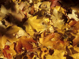 Yellow and Orange Maple Leaves in Washington, Dc, Washington, District of Columbia, United States Photographic Print by Stacy Gold