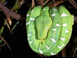 Emerald Tree Boa, Amazon, Ecuador Photographic Print by Pete Oxford
