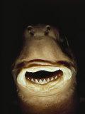 A Close View of the Mouth of a Specimen Cookie Cutter Shark Fotografie-Druck von Bill Curtsinger