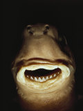 A Close View of the Mouth of a Specimen Cookie Cutter Shark Photographic Print by Bill Curtsinger