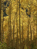 A Stand of Autumn Colored Aspen Trees Photographic Print by Charles Kogod