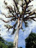Ceiba Tree, Tikal, El Peten, Guatemala Photographic Print by Inger Hogstrom