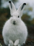 Portrait of a Snowshoe Hare in Its Winter Coat Photographic Print by Norbert Rosing