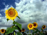Storm Clouds Form the Background for a Field of Colorful Sunflowers Photographic Print