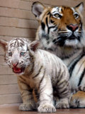 Six-Year-Old Bengal Tigress Rosi Photographic Print