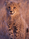 Cheetah, Phinda Reserve, South Africa Photographic Print by Gavriel Jecan