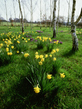 David Dixon - Narcissus (Daffodil) and Crocus Planted in Drifts Among the (Betula) Silver Birch Trees - Fotografik Baskı