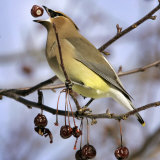 A Cedar Waxwing Tosses up a Fruit from a Flowering Crab Tree, Freeport, Maine, January 23, 2007 Photographic Print by Robert F. Bukaty