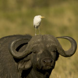 Portrait of a Cape Buffalo with a Cattle Egret Perched on Its Head (Syncerus Caffer) Photographic Print by Roy Toft