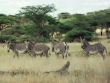 Zebras Pause on the Savannah in the Shaba Game Reserve Photographic Print by Chris Tomlinson
