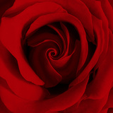 Extreme Close-up of Red Rose Fotoprint van James Guilliam