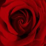 James Guilliam - Extreme Close-up of Red Rose - Fotografik Baskı