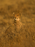 A Young Cheetah Sitting in Grass Illuminated in a Golden Light (Acinonyx Jubatus) Photographic Print by Roy Toft