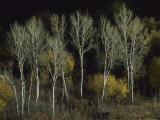 Aspen Trees Stand Barren Late in the Fall Photographic Print by Joel Sartore