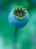 Seedhead of Papaver Somniferum (Poppy), Close-up of Green Seedhead Photographie par Lynn Keddie