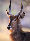 Adult Waterbuck (Kobus Ellipsyprimus) at Paradise Pools, Moremi Wildlife Reserve, Botswana Photographic Print by Andrew Parkinson