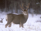 Mule Deer Buck in Winter Stampa fotografica di Chuck Haney