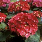 """Hydrangea Macrophylla """"Firelight"""" (Syn H. """"Leuchtfeuer"""") Fotodruck von Michele Lamontagne"""
