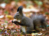 A Squirrel Handles a Nut Received from a Child in a Park in Bucharest, Romania November 6, 2006 Photographic Print by Vadim Ghirda