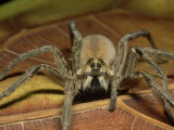 Wolf Spider, Ocala National Forest, Florida Photographic Print by David M. Dennis