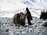 Yaks at Everest Base Camp, Tibet Láminas por Michael Brown