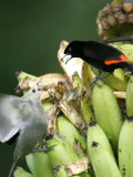 Palm Tanager and Scarlet-Rumped Tanager, Two Birds Fighting on Bananas, Osa Peninsula, Costa Rica Photographie par Roy Toft