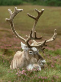 Reindeer, Portrait on Heather, Scotland Photographic Print by Mark Hamblin