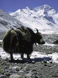 Yaks at Everest Base Camp, Tibet Reprodukcja zdjęcia autor Michael Brown