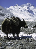 Yaks at Everest Base Camp, Tibet Lámina fotográfica por Michael Brown