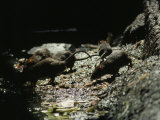 Group of Rats Forage in a Gutter, India Photographic Print by James L. Stanfield