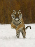 Tiger Adult Running Through Snow, Winter Photographic Print
