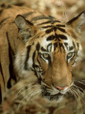 Tiger, Portrait, India Photographic Print by Satyendra K. Tiwari