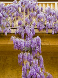 Wisteria Blooming in Spring, Sonoma Valley, California, USA Photographic Print by Julie Eggers