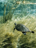 Rare Suwannee Cooter Turtle Swims through Clear Florida Waters Photographic Print by Bill Curtsinger