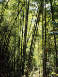 Taiwan Giant Bamboo, Doi Angkhang, Thailand Photographic Print by Dr. Cannon Raymond