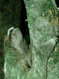 3-Toed Sloth, Bci, Panama Photographic Print by Philip J. Devries