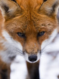 Red Fox, Portrait of Face, Lancashire, UK Photographic Print by Elliot Neep