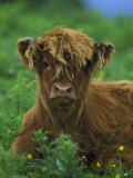 Highland Cow Photographic Print by Mark Hamblin