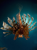 Lionfish, from Behind, New Caledonia Photographic Print by Tobias Bernhard