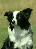 Border Collie, Nine Month-Old Dog Portrait Photographic Print by Mark Hamblin