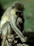 Vervet Monkey, Mother and Young, Kenya Stampa fotografica di Martyn Colbeck