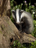 Badger on Tree Stump, Vaud, Switzerland Photographic Print by David Courtenay
