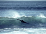 Galapagos Sea Lion, Body Surfing, Galapagos Photographic Print by Mark Jones