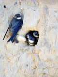 Sand Martin, Adult at Nest Site with Juveniles at Entrance Hole, Norfolk, UK Fotografisk tryk af Mike Powles