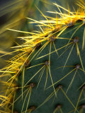 Cactus, Joshua Tree National Park, California, USA Photographic Print by Janell Davidson