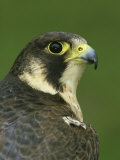 Peregrine Falcon, Falco Peregrinus Close-up Portrait of Female Captive Photographic Print by Mark Hamblin