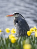 Grey Heron in Daffodils, London, UK Photographic Print by Elliot Neep